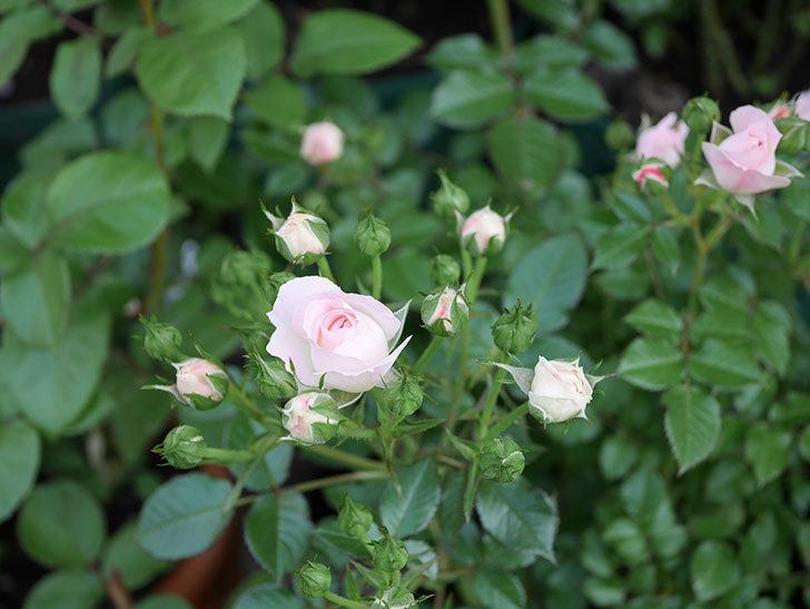 チュチュオプティマ(ミニバラ)が咲きだした。2018年-9.jpg