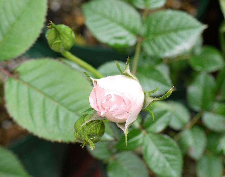 チュチュオプティマ(ミニバラ)が咲き出した。2016年-3.jpg