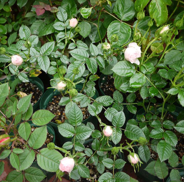 チュチュオプティマ(ミニバラ)が咲き出した。2016年-4.jpg