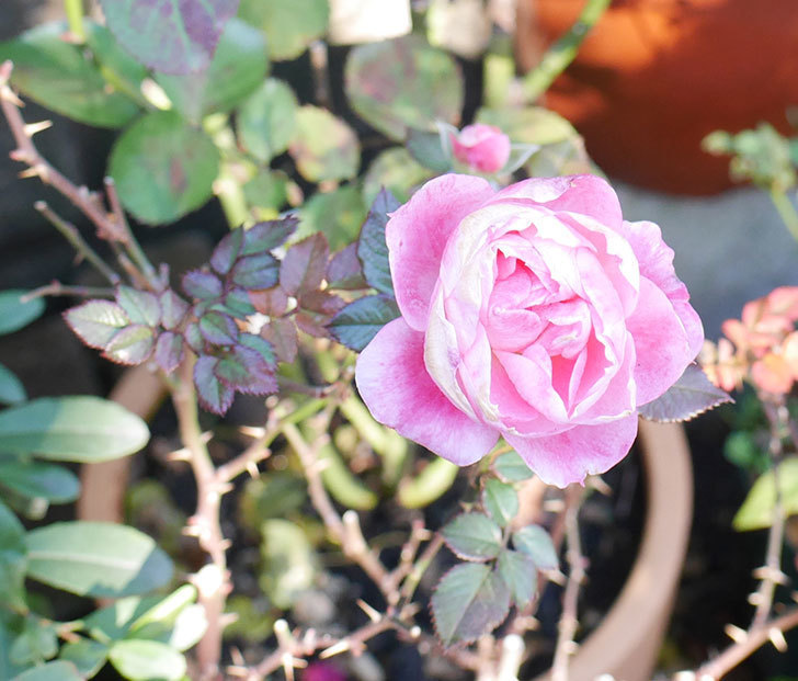 チュチュオプティマ(ミニバラ)に丸い花が咲いた。2019年-1.jpg