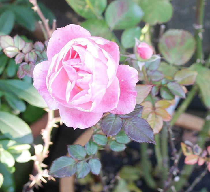 チュチュオプティマ(ミニバラ)に丸い花が咲いた。2019年-3.jpg