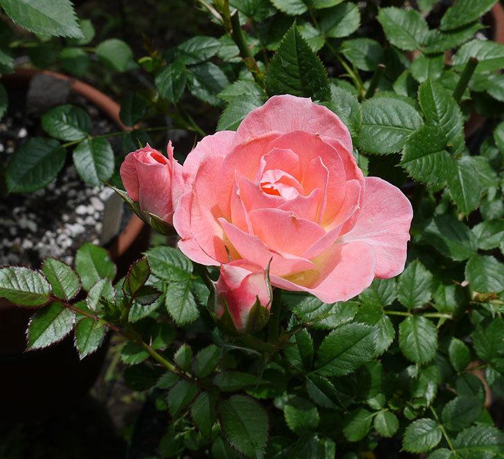 チュチュオプティマ(ミニバラ)の2番花が咲いた。2017年-1.jpg