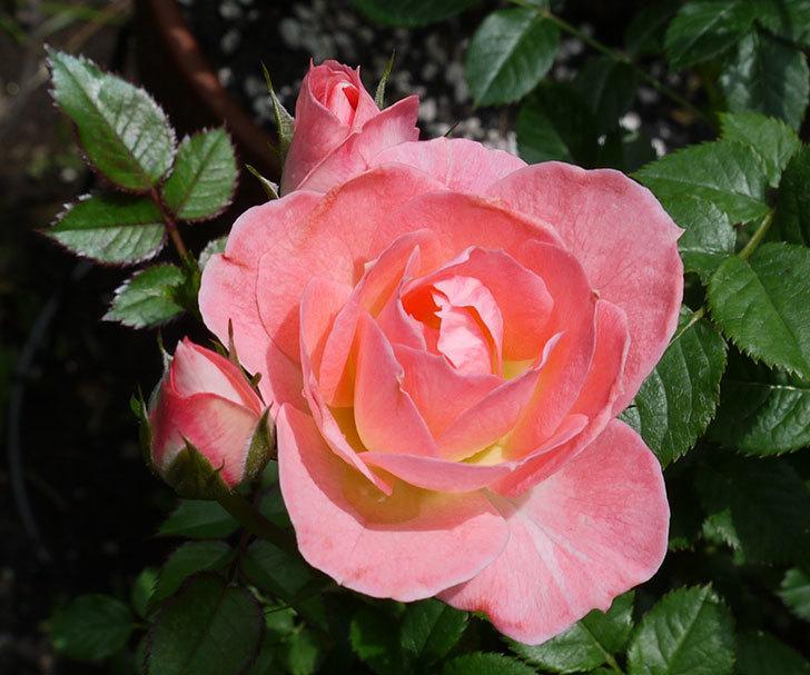 チュチュオプティマ(ミニバラ)の2番花が咲いた。2017年-2.jpg