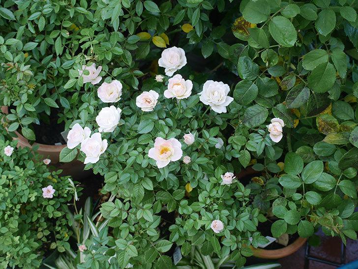チュチュオプティマ(ミニバラ)の夏花がたくさん咲いた。2018年-10.jpg