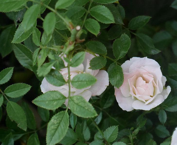 チュチュオプティマ(ミニバラ)の夏花がたくさん咲いた。2018年-2.jpg