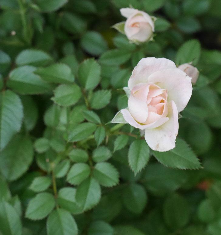 チュチュオプティマ(ミニバラ)の夏花がたくさん咲いた。2018年-3.jpg
