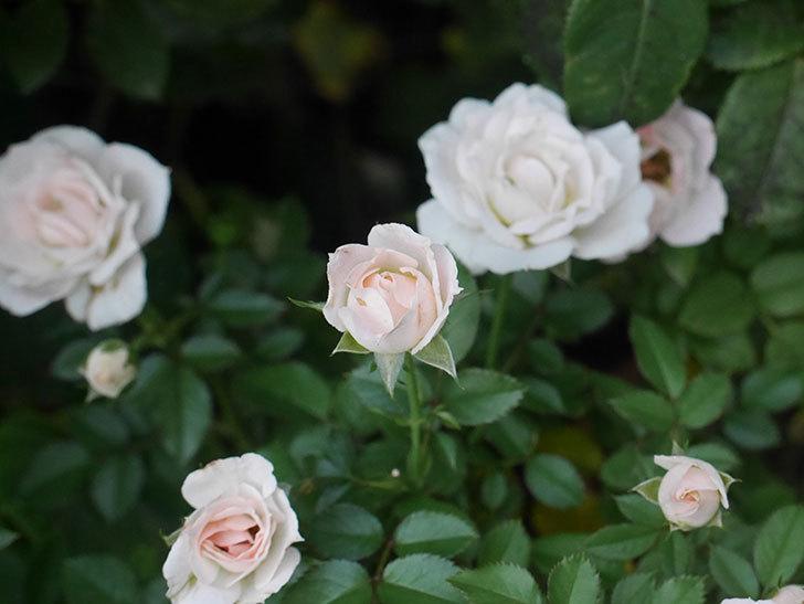 チュチュオプティマ(ミニバラ)の夏花がたくさん咲いた。2018年-4.jpg