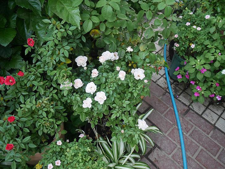 チュチュオプティマ(ミニバラ)の夏花がたくさん咲いた。2018年-5.jpg
