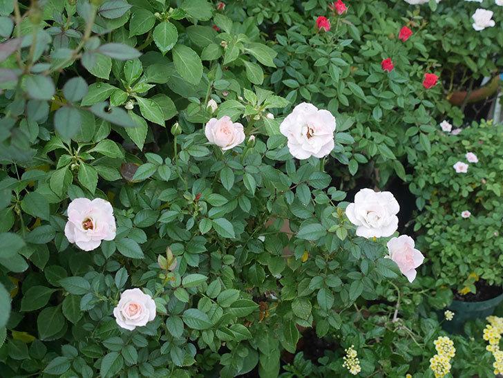 チュチュオプティマ(ミニバラ)の夏花がたくさん咲いた。2018年-9.jpg