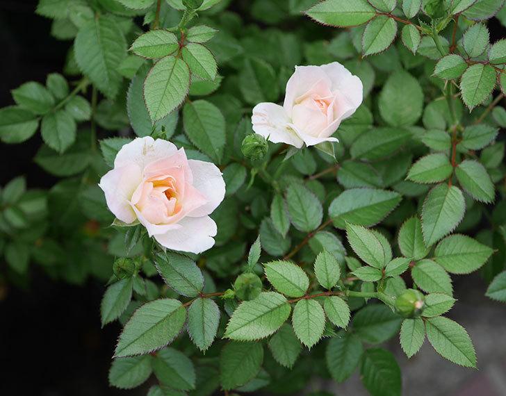 チュチュオプティマ(ミニバラ)の夏花が咲いた。2018年-1.jpg