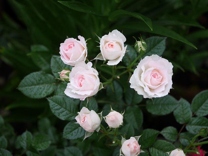 チュチュオプティマ(ミニバラ)の花がたくさん咲いた。2020年03.jpg