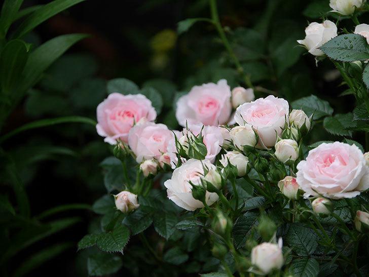 チュチュオプティマ(ミニバラ)の花がたくさん咲いた。2020年06.jpg