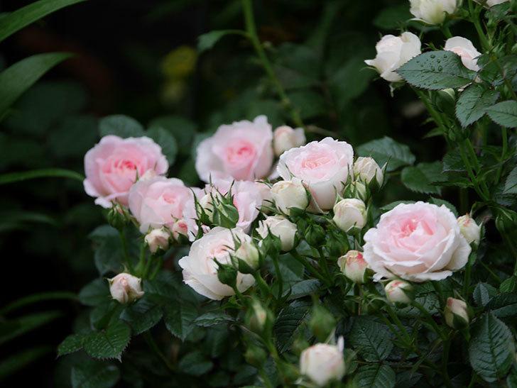 チュチュオプティマ(ミニバラ)の花がたくさん咲いた。2020年07.jpg