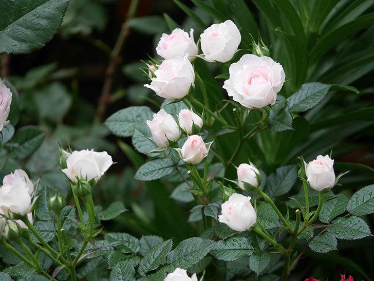 チュチュオプティマ(ミニバラ)の花がたくさん咲いた。2020年08.jpg