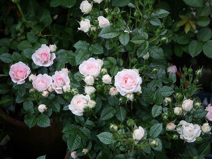 チュチュオプティマ(ミニバラ)の花がたくさん咲いた。2020年09.jpg