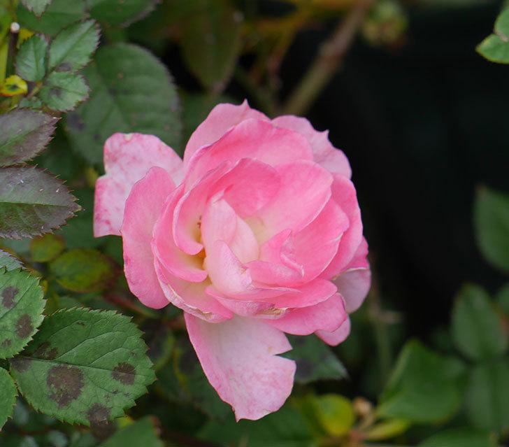 チュチュオプティマ(ミニバラ)の花がまだ咲いている。2019年-3.jpg