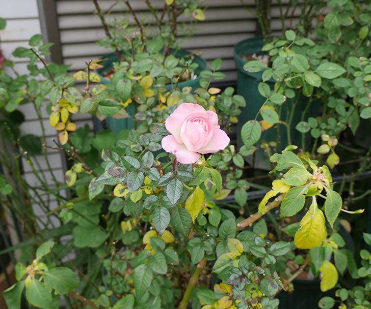 チュチュオプティマ(ミニバラ)の花がまだ咲いている。2019年-4.jpg
