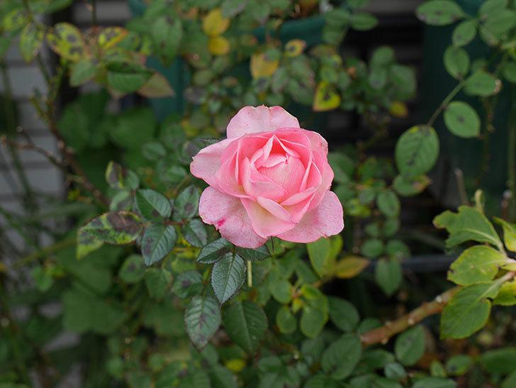 チュチュオプティマ(ミニバラ)の花がまだ咲いている。2019年-6.jpg