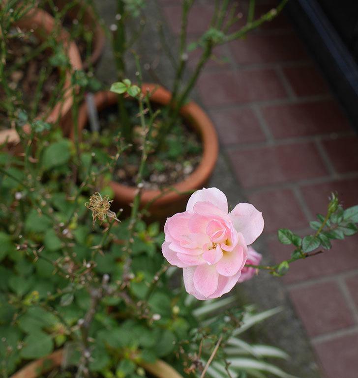 チュチュオプティマ(ミニバラ)の花がまだ咲いている。2019年-7.jpg
