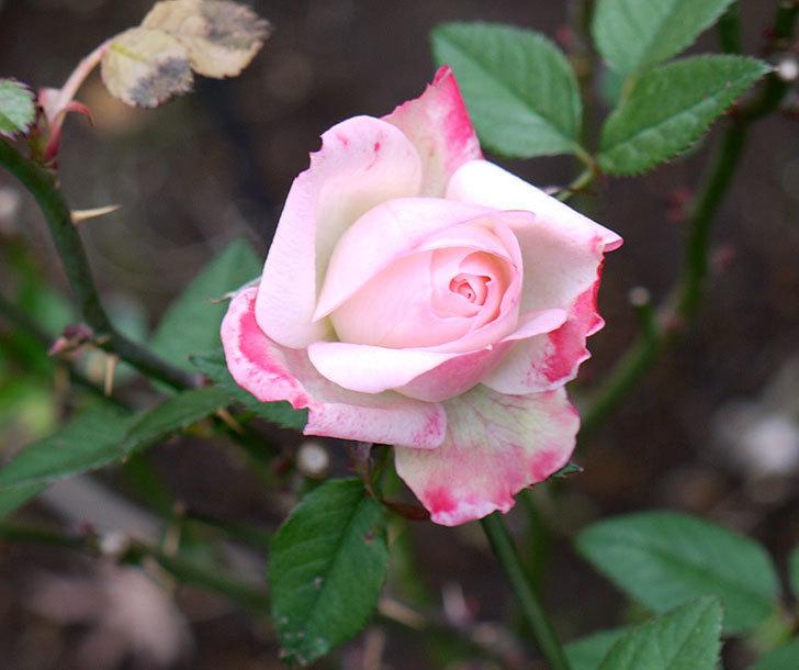 チュチュオプティマ(ミニバラ)の花が何時も違う感じで咲いた。2017年-1.jpg