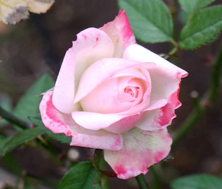 チュチュオプティマ(ミニバラ)の花が何時も違う感じで咲いた。2017年-2.jpg