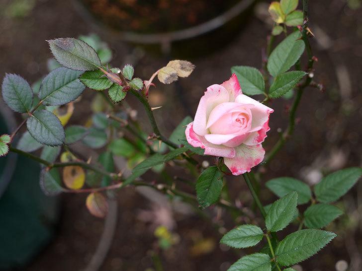 チュチュオプティマ(ミニバラ)の花が何時も違う感じで咲いた。2017年-3.jpg