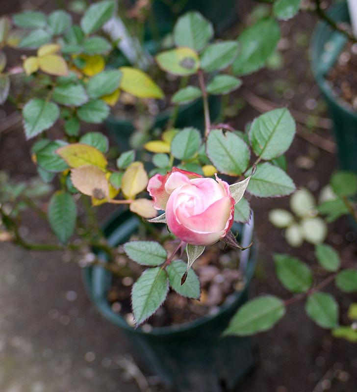 チュチュオプティマ(ミニバラ)の花が何時も違う感じで咲いた。2017年-5.jpg