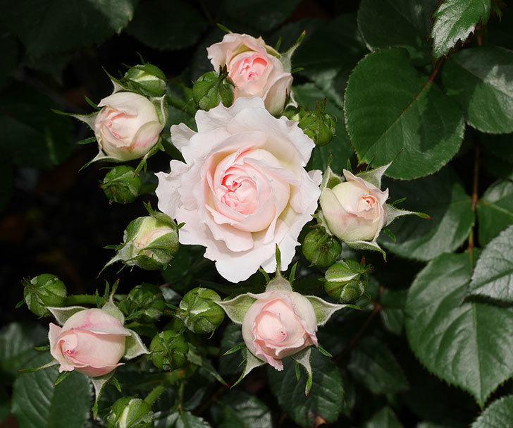 チュチュオプティマ(ミニバラ)の花が咲いた。2019年-1.jpg