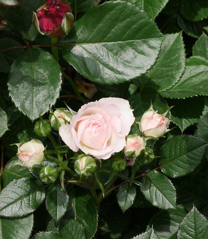 チュチュオプティマ(ミニバラ)の花が咲いた。2019年-3.jpg