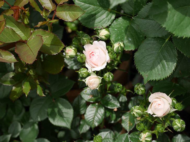 チュチュオプティマ(ミニバラ)の花が咲いた。2019年-5.jpg