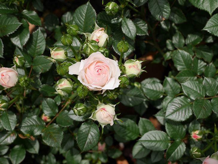 チュチュオプティマ(ミニバラ)の花が咲いた。2019年-6.jpg