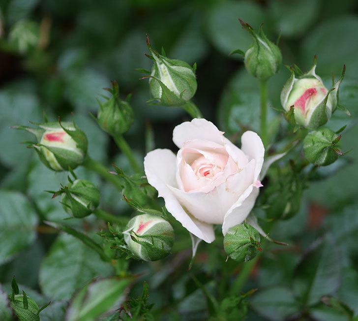 チュチュオプティマ(ミニバラ)の花が咲いた。2020年-1.jpg