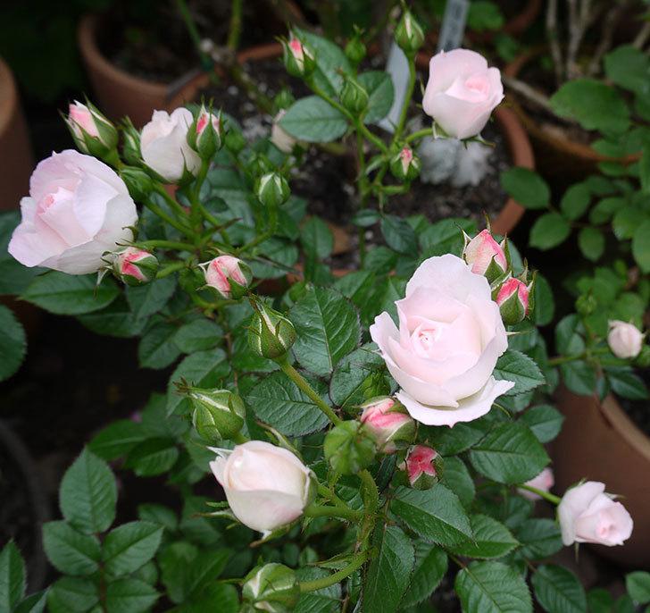 チュチュオプティマ(ミニバラ)の花が増えてきた。2017年-1.jpg