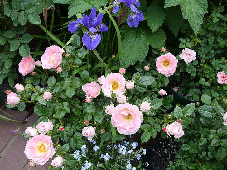 チュチュオプティマ(ミニバラ)の花が増えてきた。2017年-10.jpg