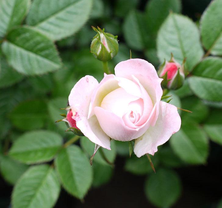 チュチュオプティマ(ミニバラ)の花が増えてきた。2017年-11.jpg