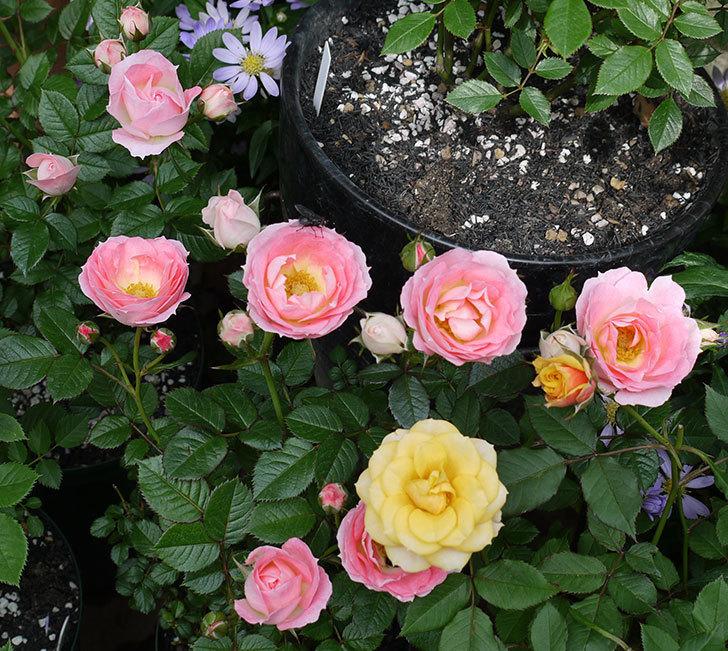チュチュオプティマ(ミニバラ)の花が増えてきた。2017年-12.jpg