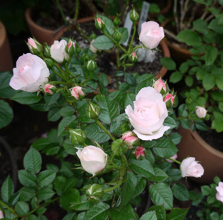 チュチュオプティマ(ミニバラ)の花が増えてきた。2017年-5.jpg
