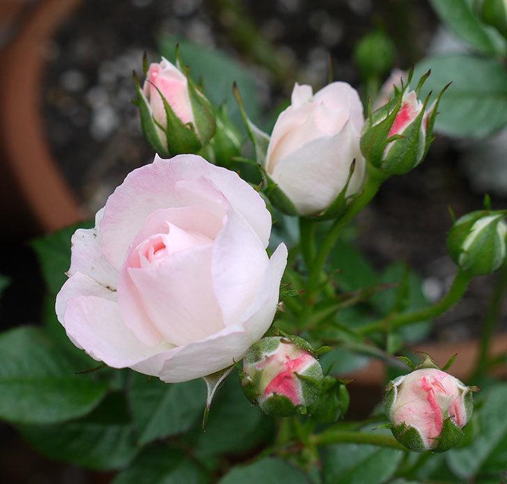 チュチュオプティマ(ミニバラ)の花が増えてきた。2017年-6.jpg