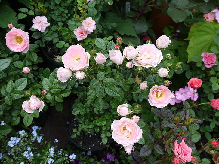 チュチュオプティマ(ミニバラ)の花が増えてきた。2017年-8.jpg