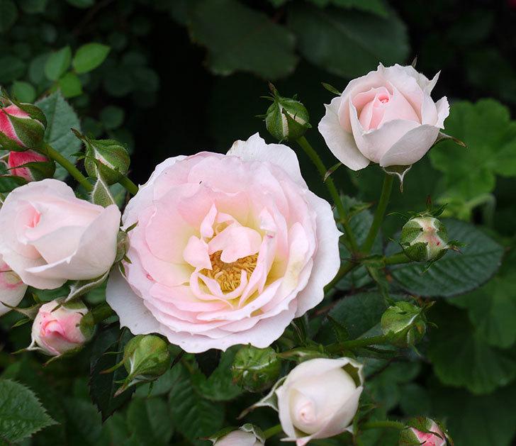 チュチュオプティマ(ミニバラ)の花が増えてきた。2017年-9.jpg