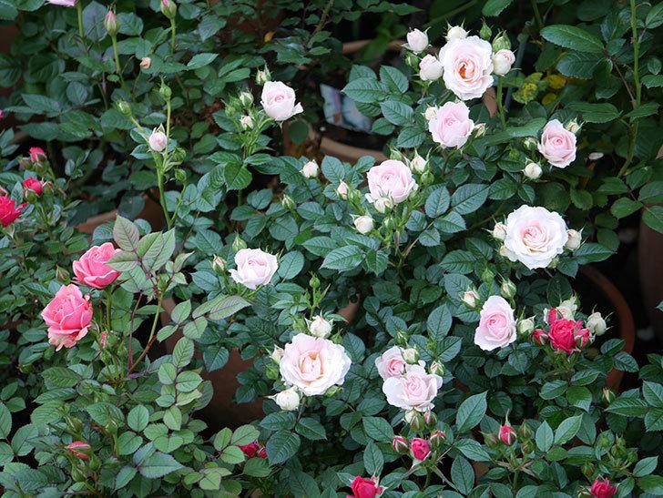 チュチュオプティマ(ミニバラ)の花が増えてきた。2020年-1.jpg