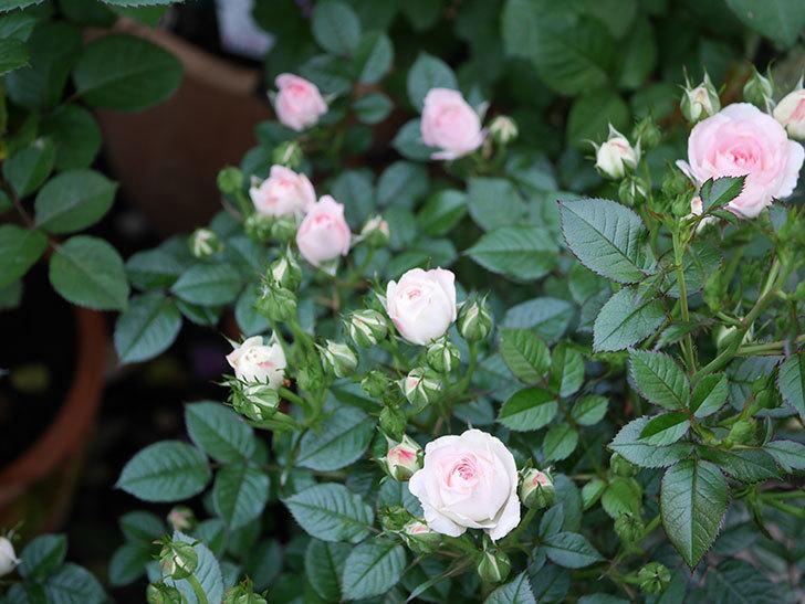 チュチュオプティマ(ミニバラ)の花が増えてきた。2020年-2.jpg