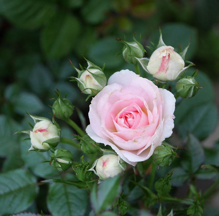 チュチュオプティマ(ミニバラ)の花が増えてきた。2020年-3.jpg