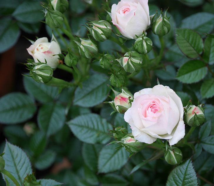 チュチュオプティマ(ミニバラ)の花が増えてきた。2020年-4.jpg