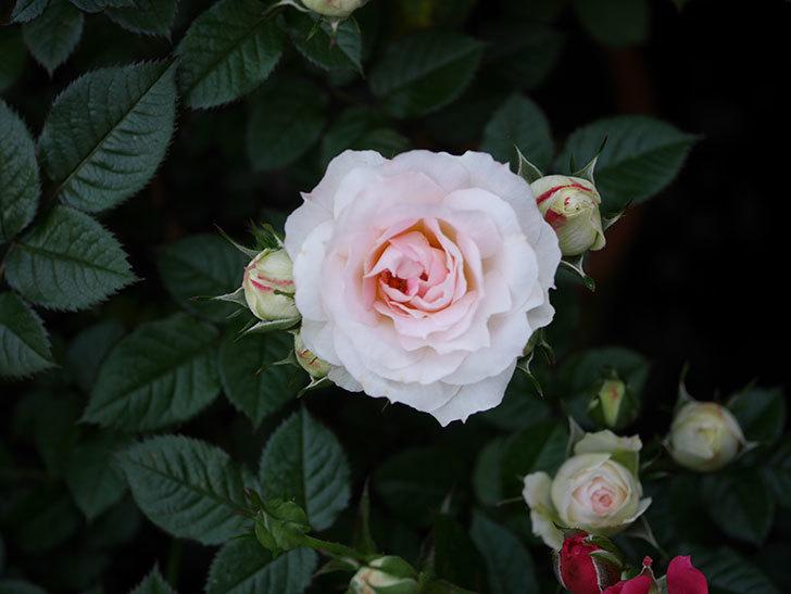 チュチュオプティマ(ミニバラ)の花が増えてきた。2020年-5.jpg