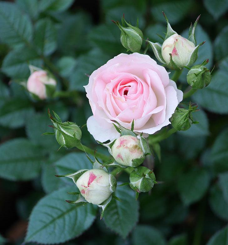 チュチュオプティマ(ミニバラ)の花が増えてきた。2020年-7.jpg
