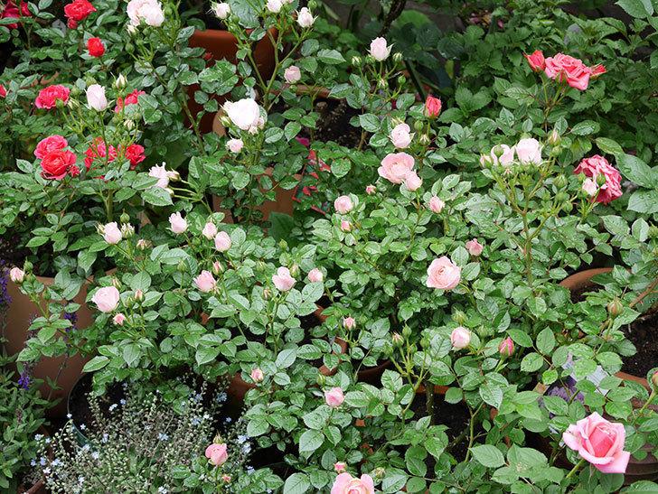 チュチュオプティマ(ミニバラ)の花が増えて来た。2018年-1.jpg