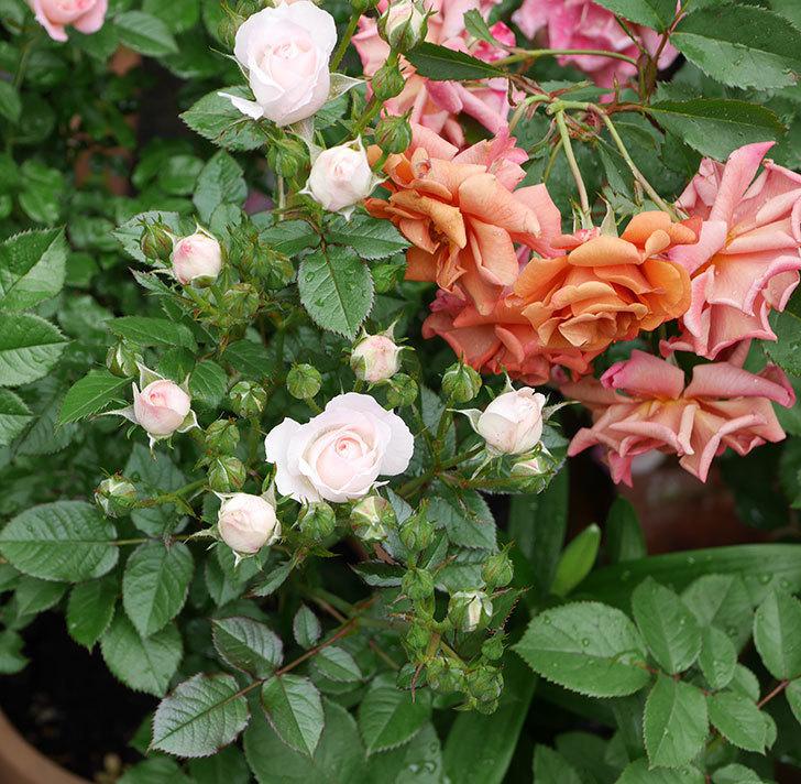 チュチュオプティマ(ミニバラ)の花が増えて来た。2018年-10.jpg