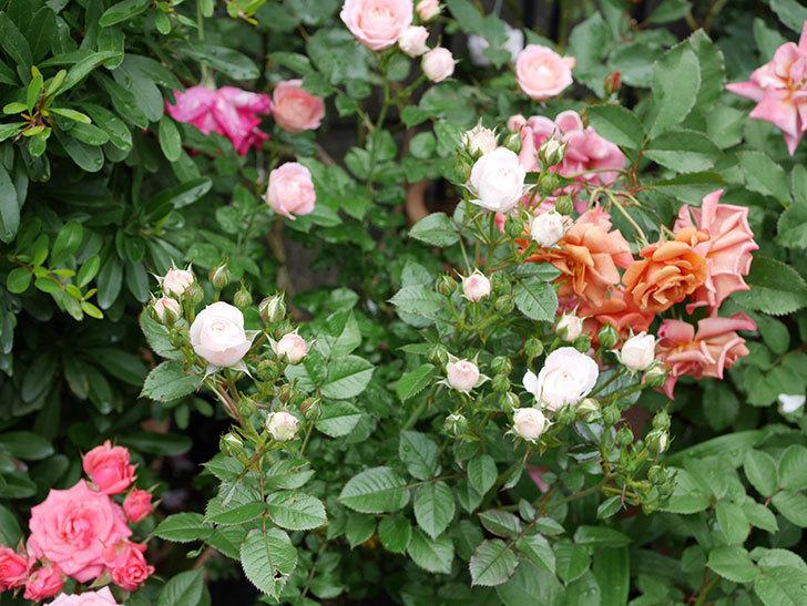 チュチュオプティマ(ミニバラ)の花が増えて来た。2018年-11.jpg