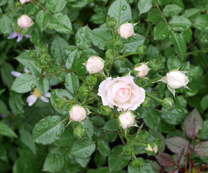 チュチュオプティマ(ミニバラ)の花が増えて来た。2018年-2.jpg